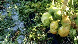 Tomateras afectadas por el granizo