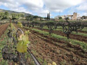 Una cepa de Malvasia de Sitges y al fondo la bodega y masia la Serra de Sant Pere de Ribes
